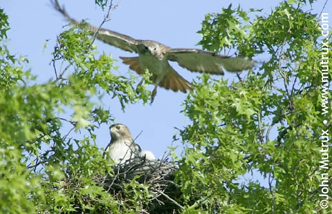 Hawks_1266.jpg