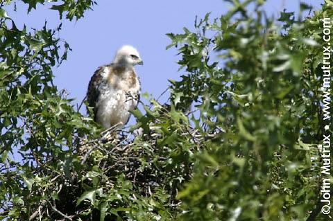 Hawks_1639.jpg