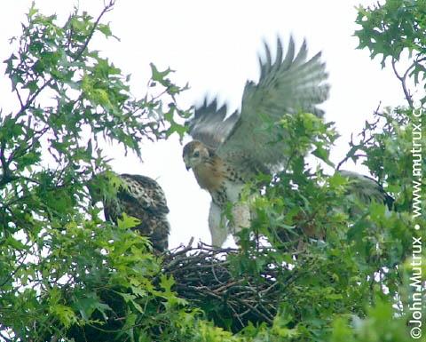 Hawks_2485.jpg