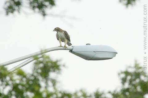 Hawks_2531.jpg