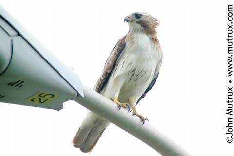 Hawks_2689.jpg