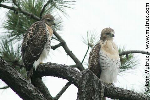 Hawks_2725.jpg