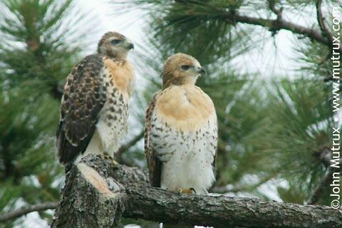 Hawks_2729.jpg