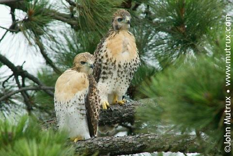 Hawks_2763.jpg